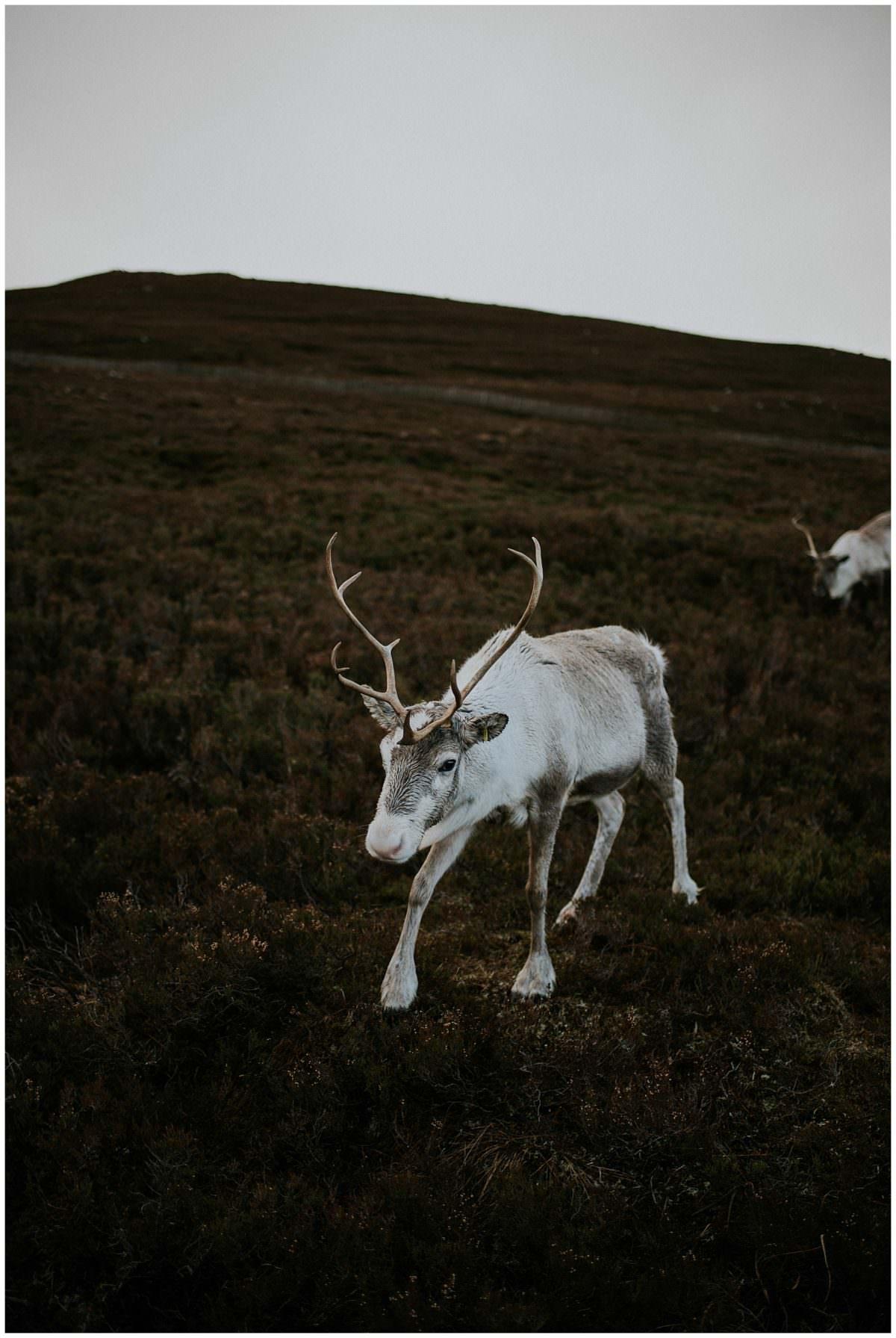 Reindeer in Scotland - Reindeer Centre, Cairngorms National Park