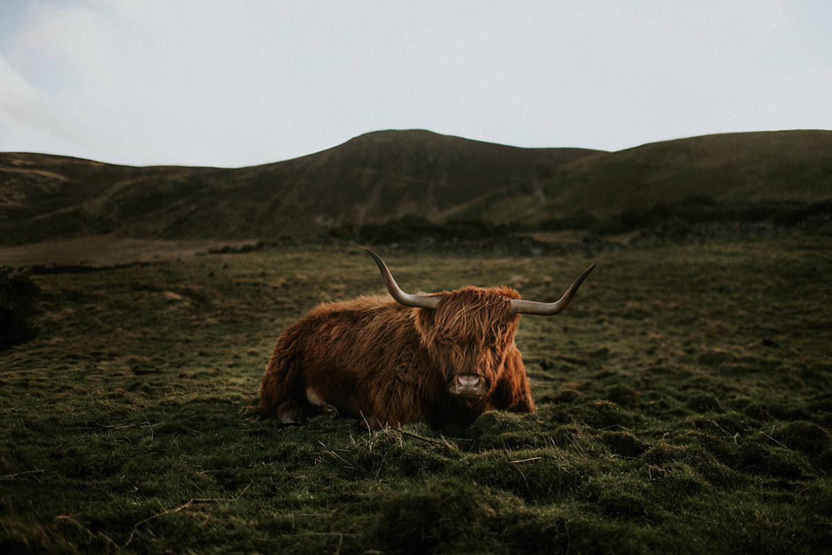 Highland cows in Pentland Hills, Edinburgh