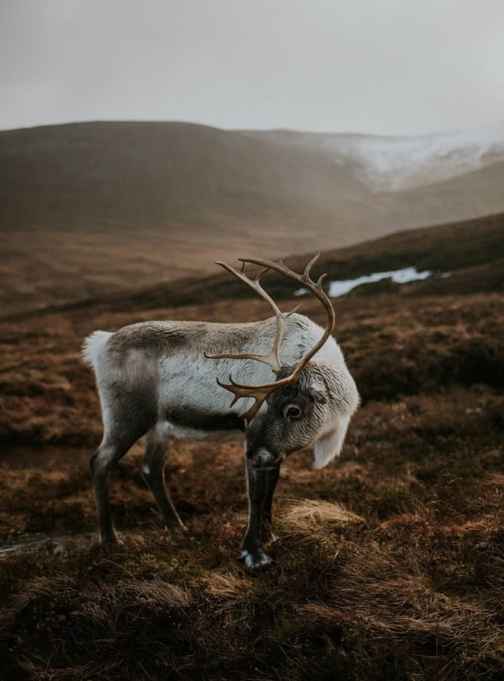 Reindeer in Scotland - Cairngorms National Park