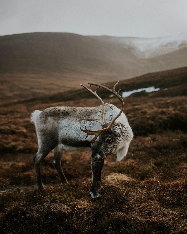 Reindeer in Scotland - Cairngorms National Park